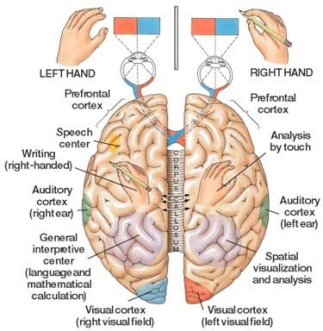 Brain Hemispheres and Functional Specialization